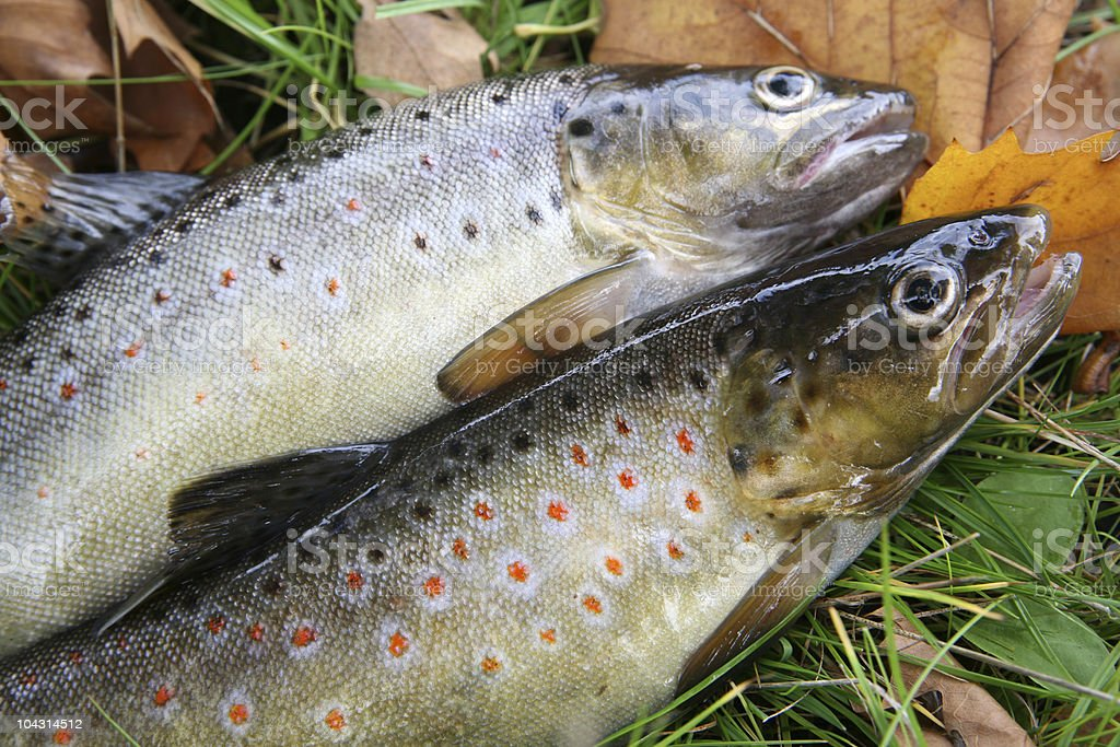 Trouts stock photo