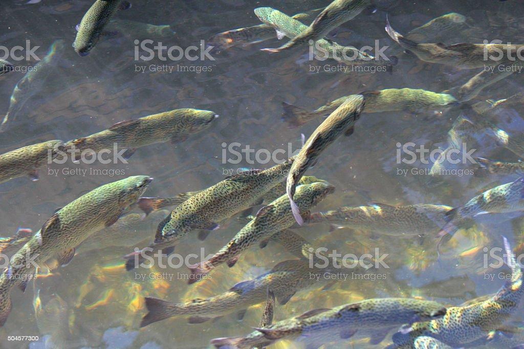trouts stock photo