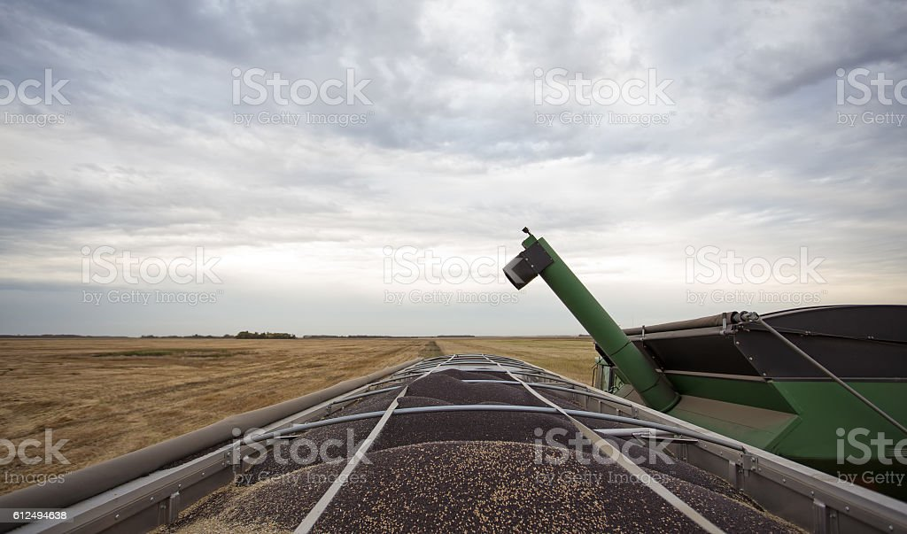 Truck trailer loaded with canola seed stock photo