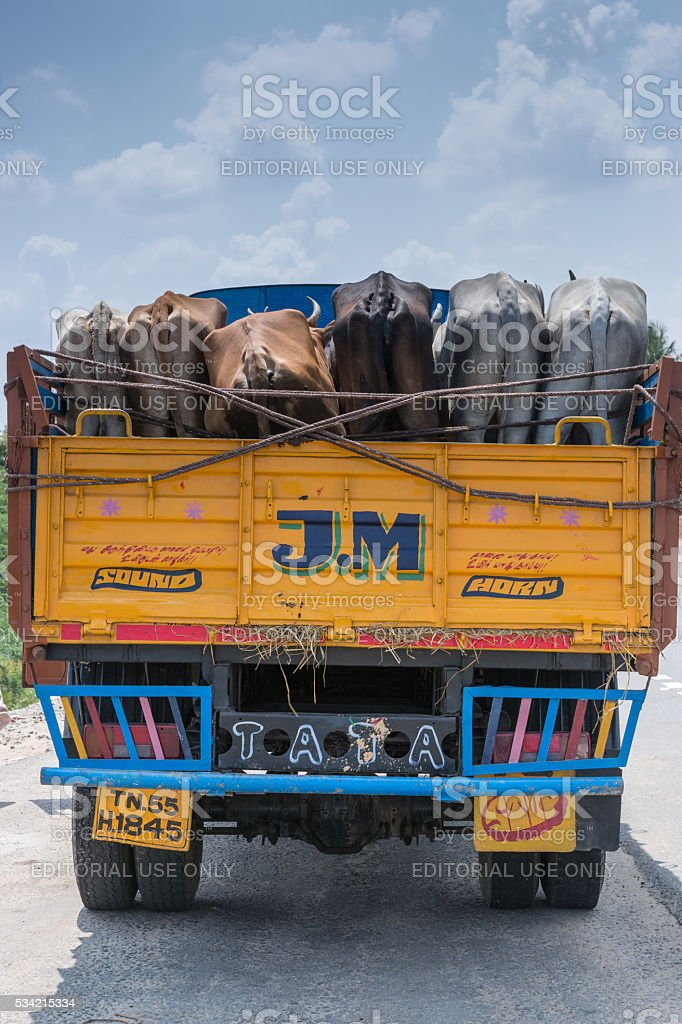 Truck with living cattle. stock photo