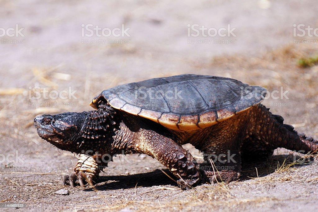 Trucking Turtle stock photo