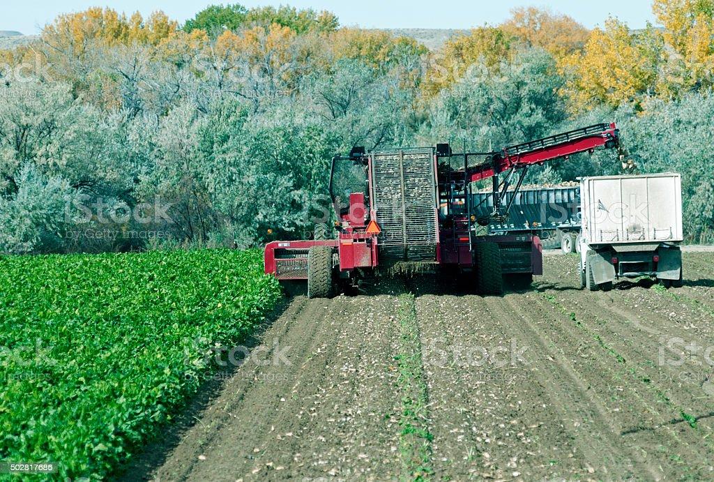 Trucks harvesting beet field in Wyoming stock photo
