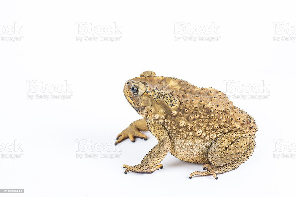 True toad stock photo