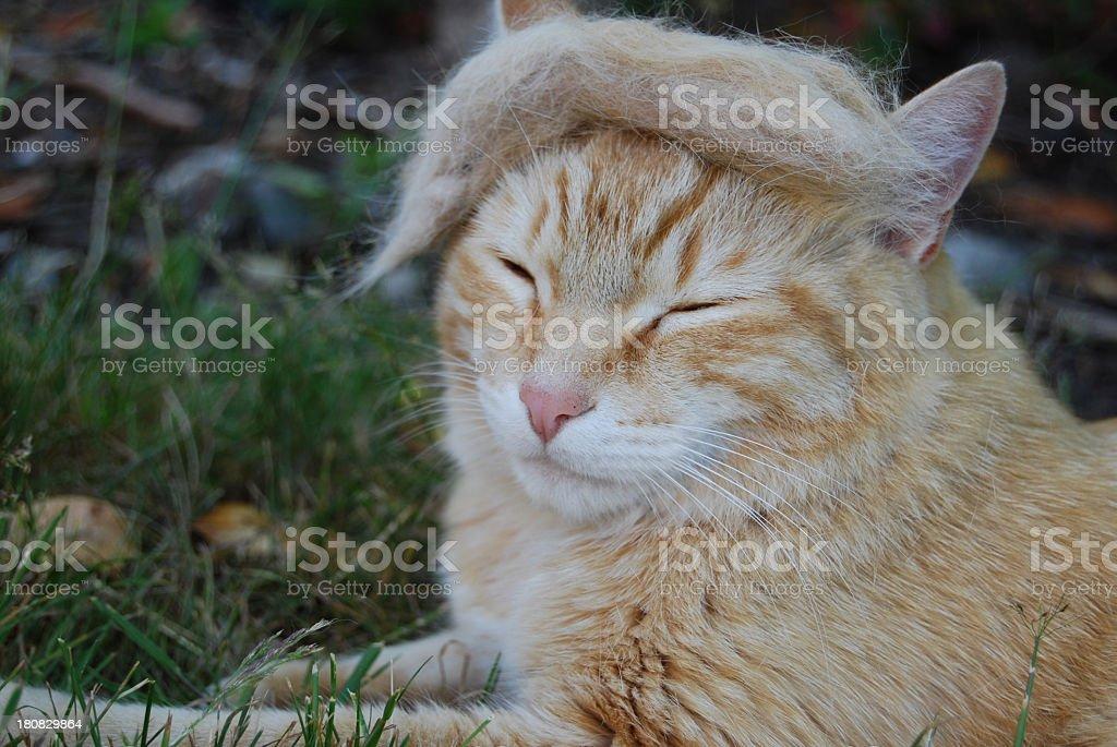 Trump cat stock photo