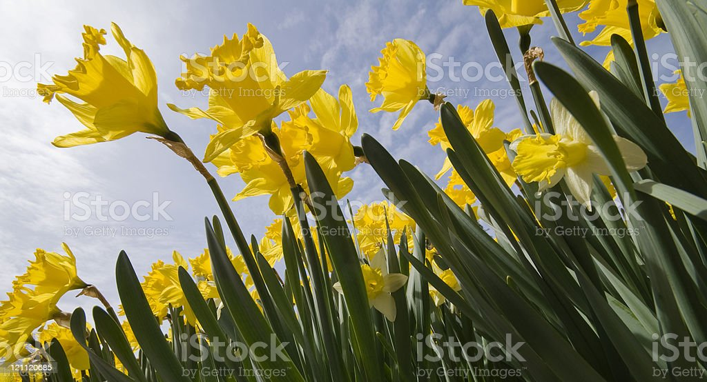 Trumpet Daffodils royalty-free stock photo