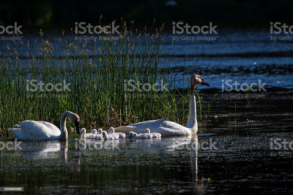 Trumpeter Swan and Babies in the Morning stock photo