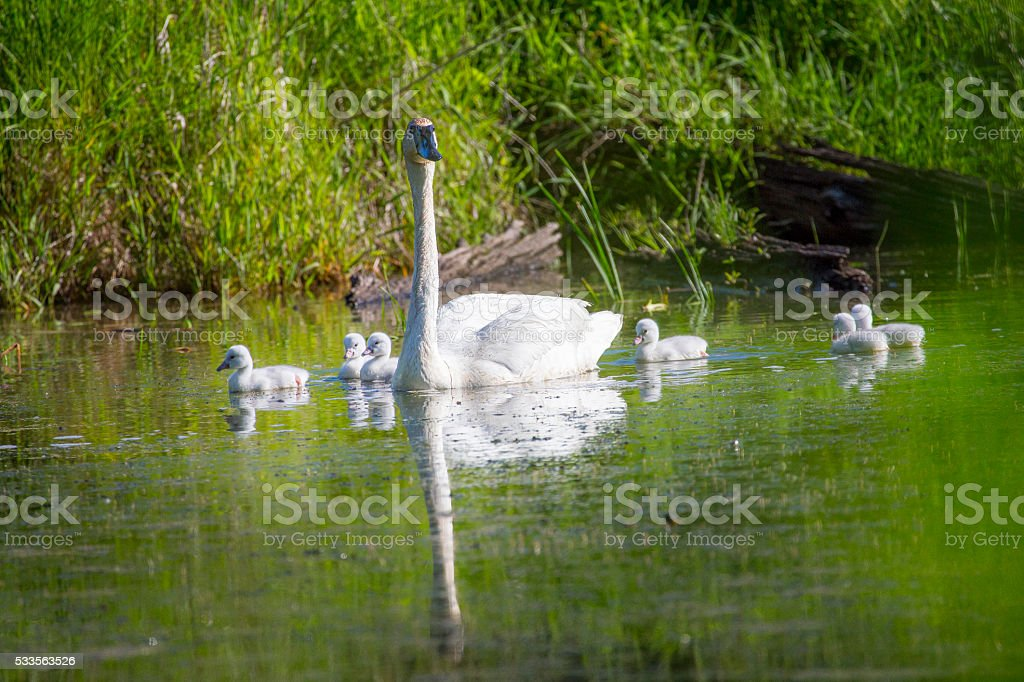 Trumpeter Swan and Babies Swimming stock photo