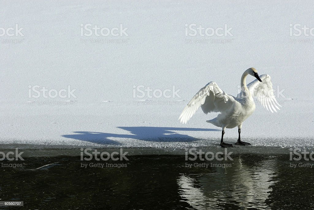 Trumpeter Swan and His Reflection On  Icey Yellowstone River stock photo