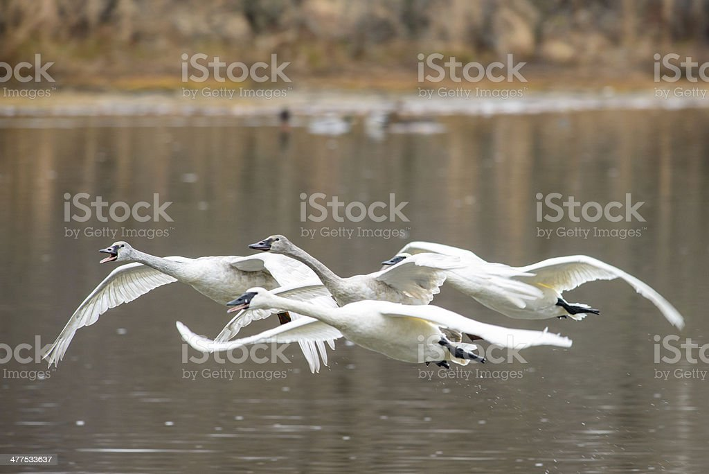 Trumpeter swan family in flight stock photo