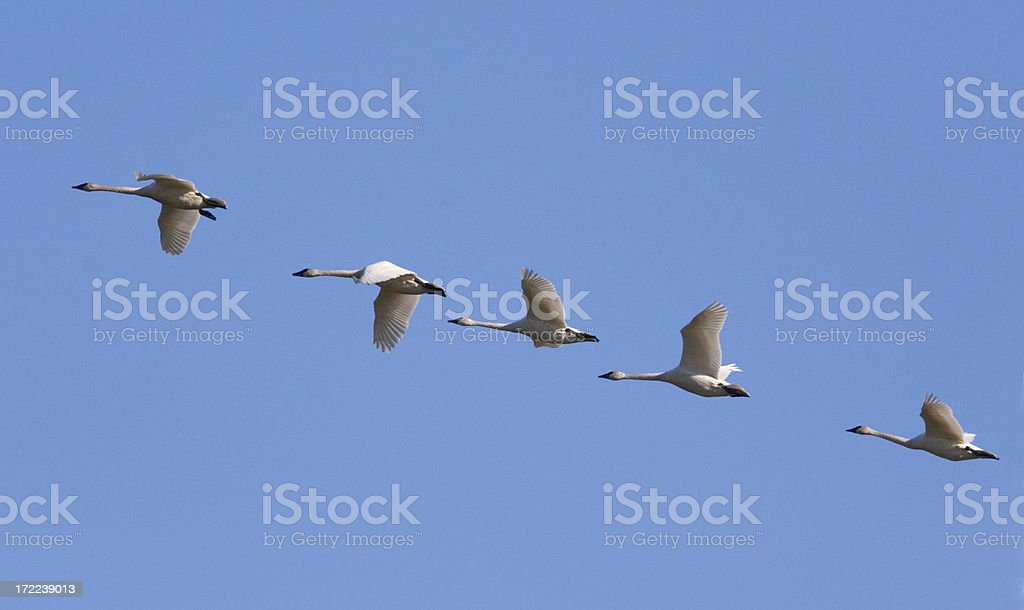 Trumpeter Swan Flying Formation stock photo