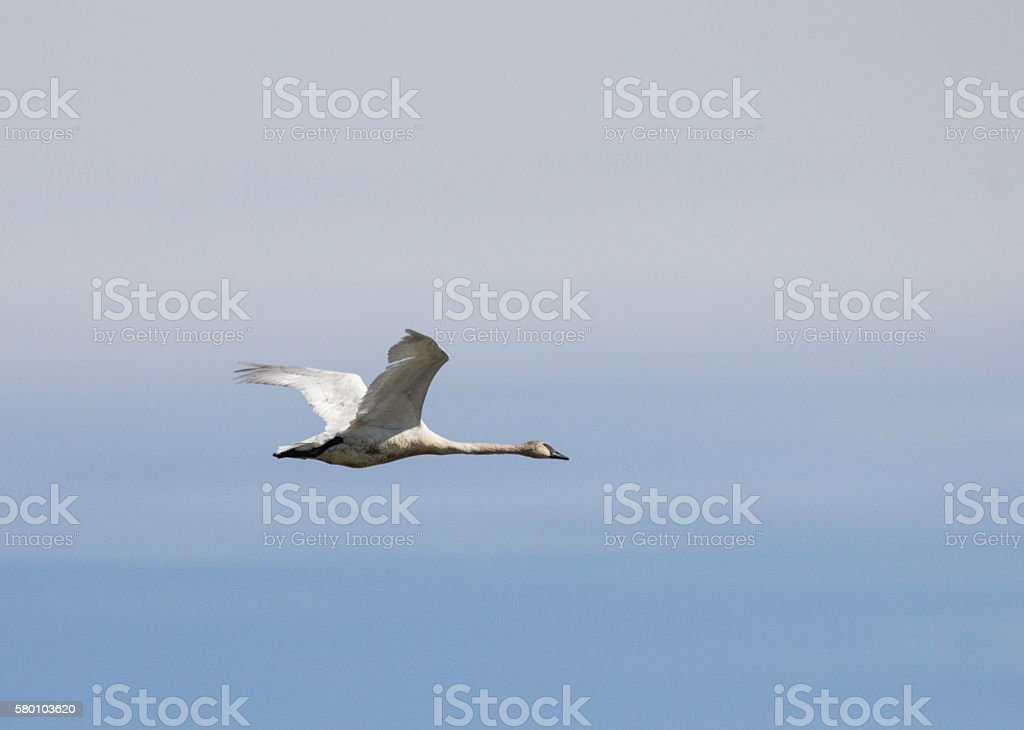Trumpeter Swan Flying stock photo