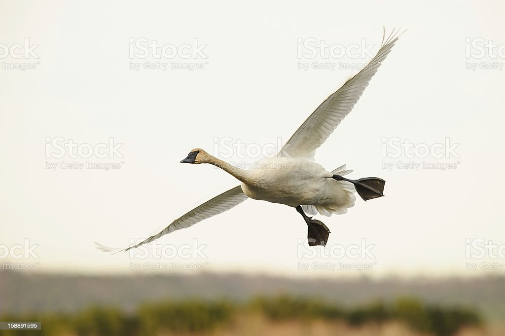 Trumpeter swan gliding in air stock photo