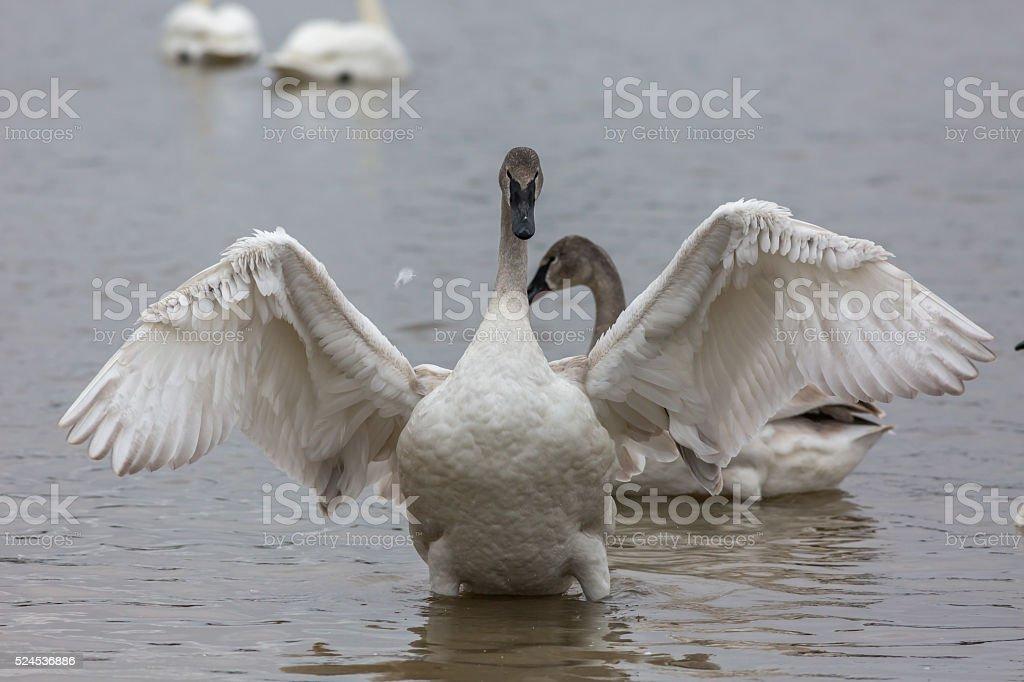 Trumpeter Swan in Arkansas stock photo