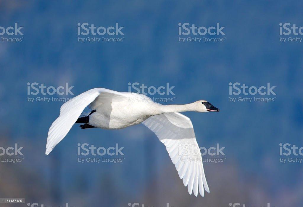 Trumpeter Swan in Flight stock photo