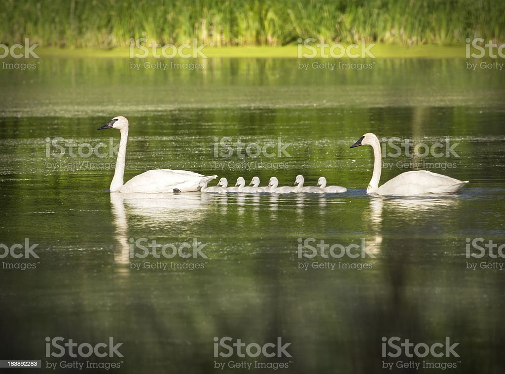 Trumpeter swan pair and seven adorable cygnets. stock photo