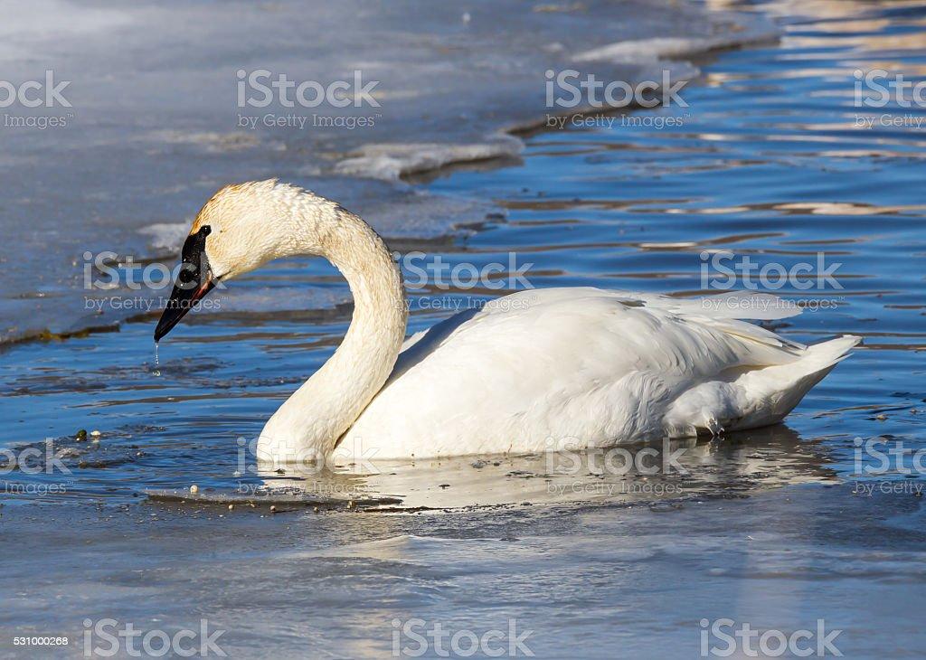 Trumpeter Swan stock photo