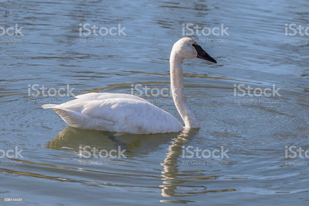 Trumpeter Swan (Cygnus buccinator) stock photo