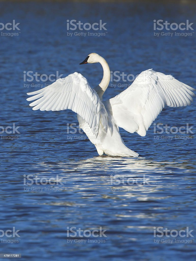 Trumpeter Swan Stretching its Wings stock photo