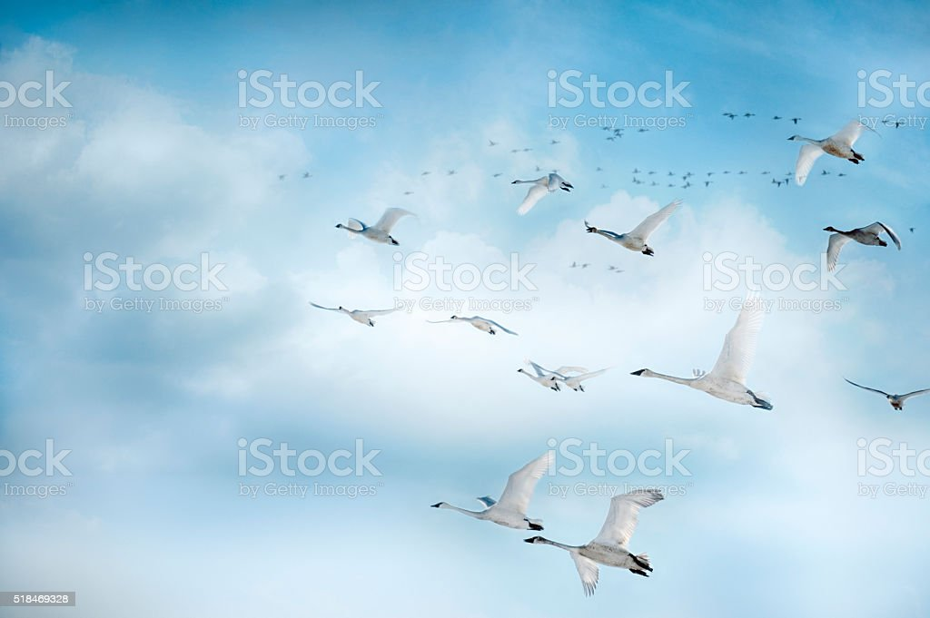 Trumpeter Swans In Flight In A Beautiful Blue Clouded Sky stock photo