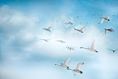 Trumpeter Swans In Flight In A Beautiful Blue Clouded Sky