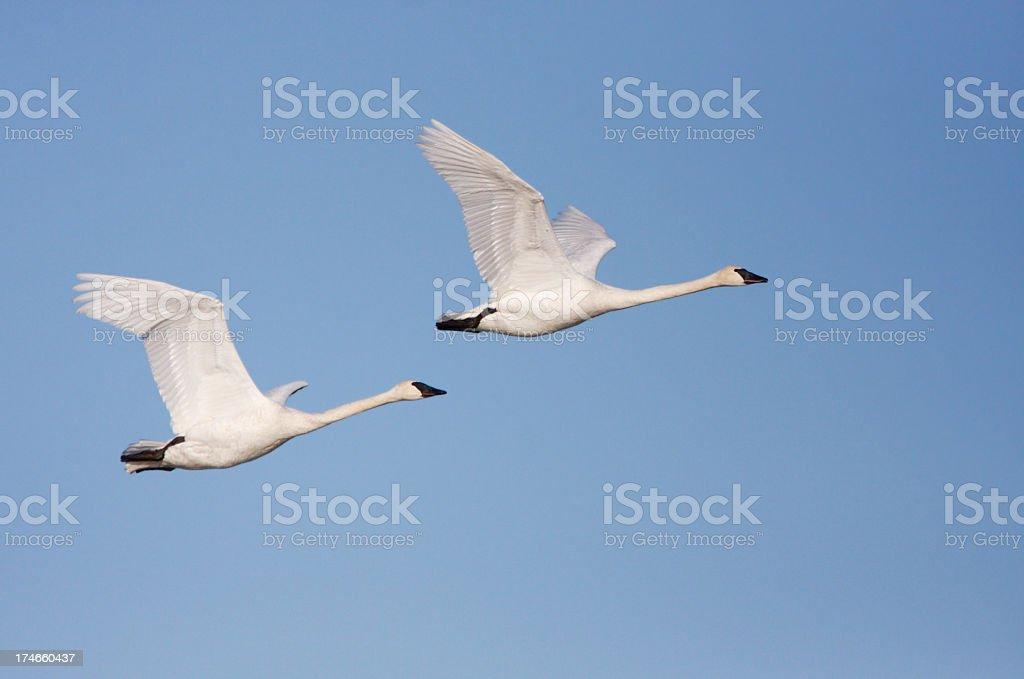 Trumpeter Swans in Flight stock photo