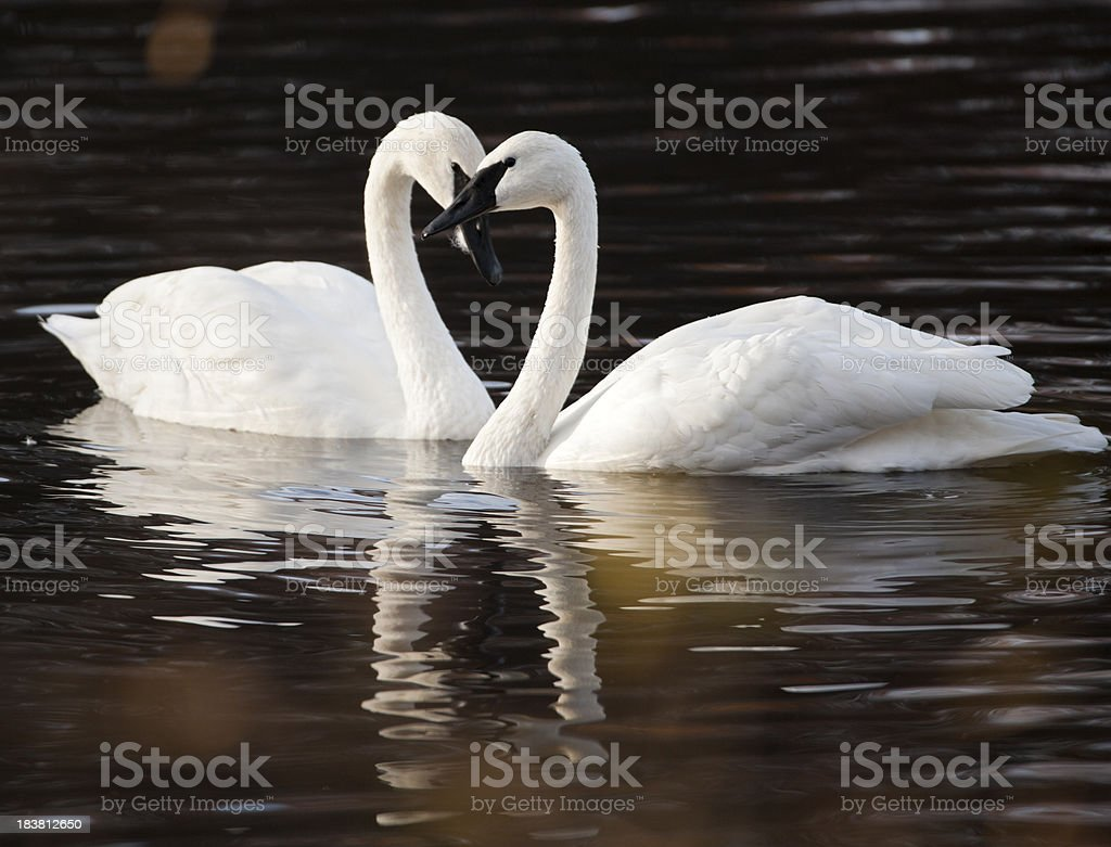 Trumpeter swans pair and heart shape. stock photo