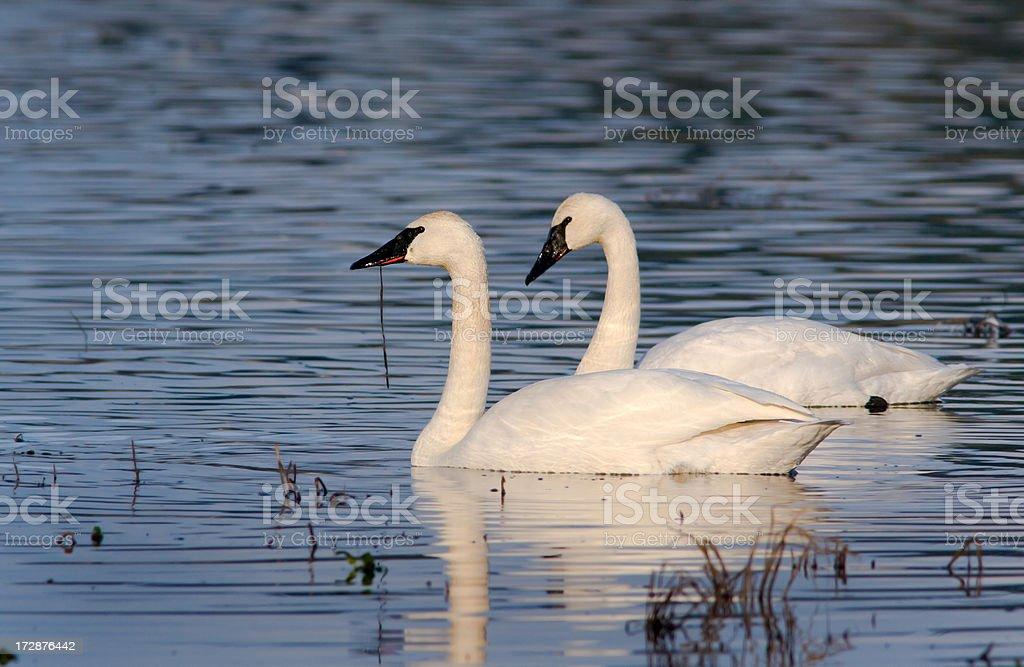 Trumpeter Swans - Pair stock photo