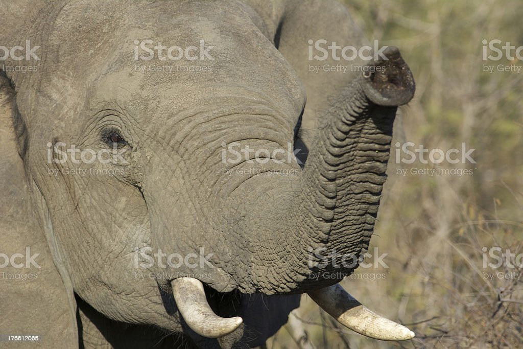 trumpeting elephant stock photo