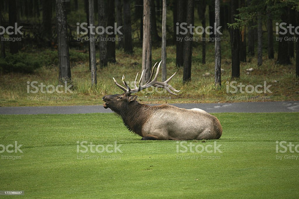 trumpeting elk stock photo