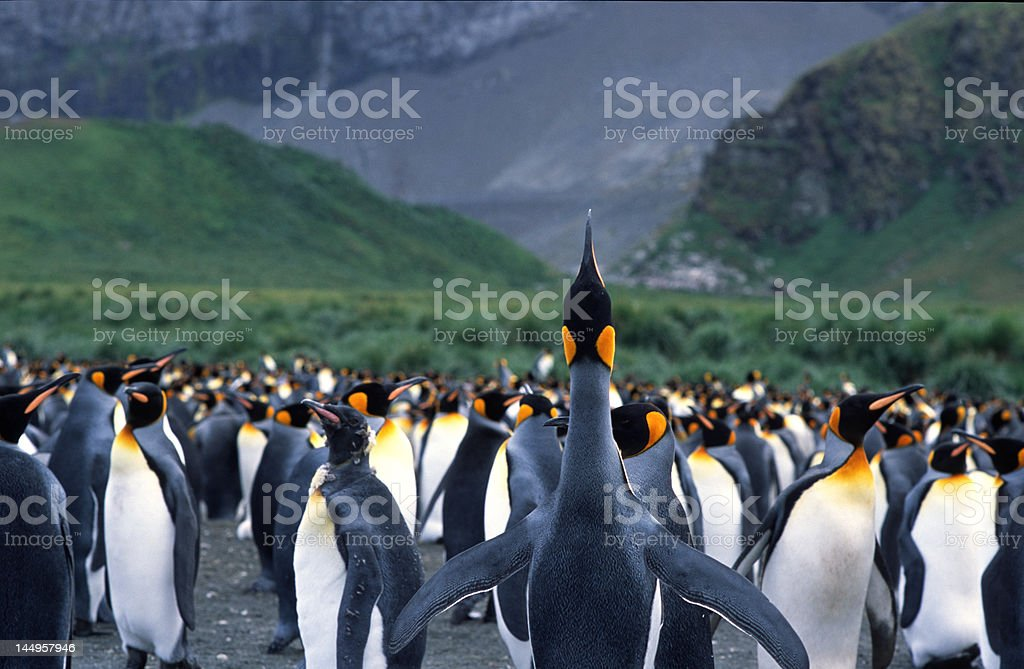 Trumpeting king penguin stock photo