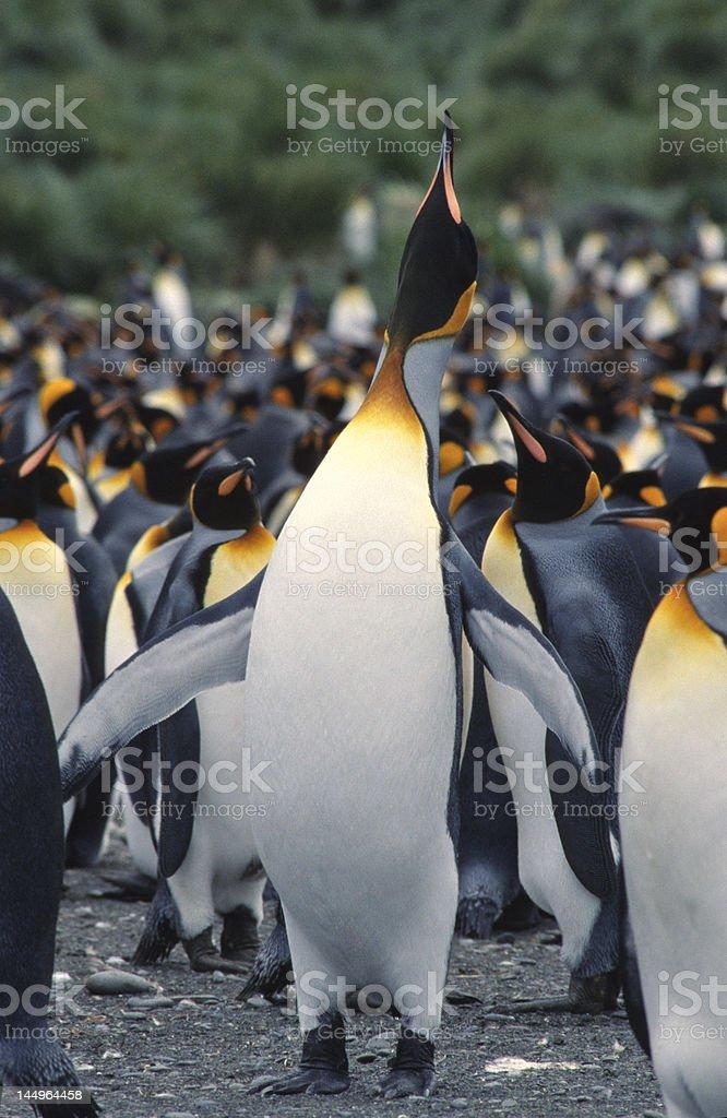 Trumpeting king penguin royalty-free stock photo