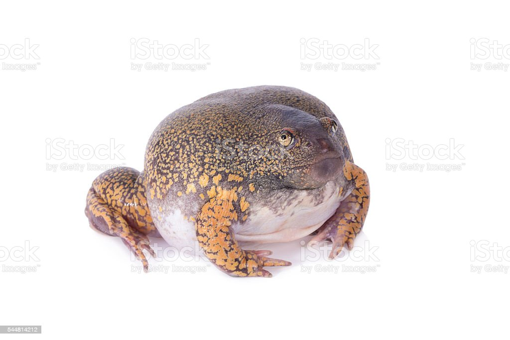 Truncate Snouted Spadefoot Frog on white background stock photo