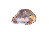 Truncate Snouted Spadefoot Frog on white background
