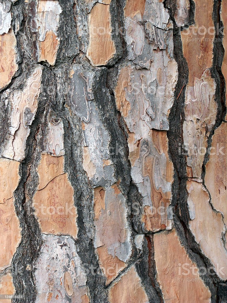 trunk barks of a stone pine royalty-free stock photo