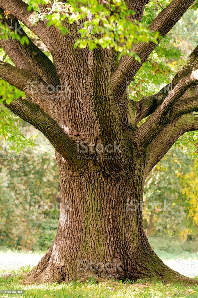 Trunk Close-Up of Old Oak Tree in Late Summer. stock photo
