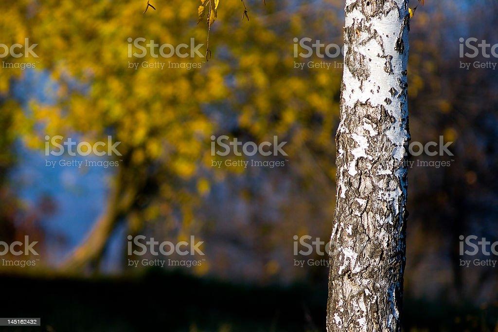 Tronco de madeira de bétula com folhas brilhantes. foto royalty-free