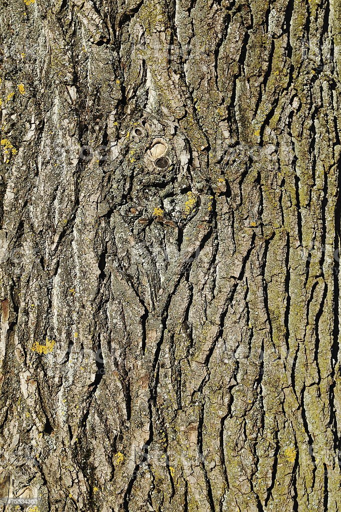 Trunk of a Canadian Poplar stock photo