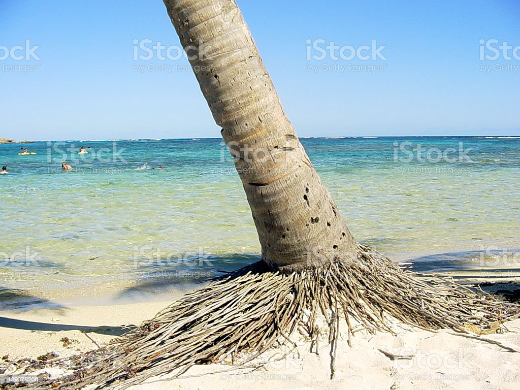 Trunk of a coconut tree royalty-free stock photo