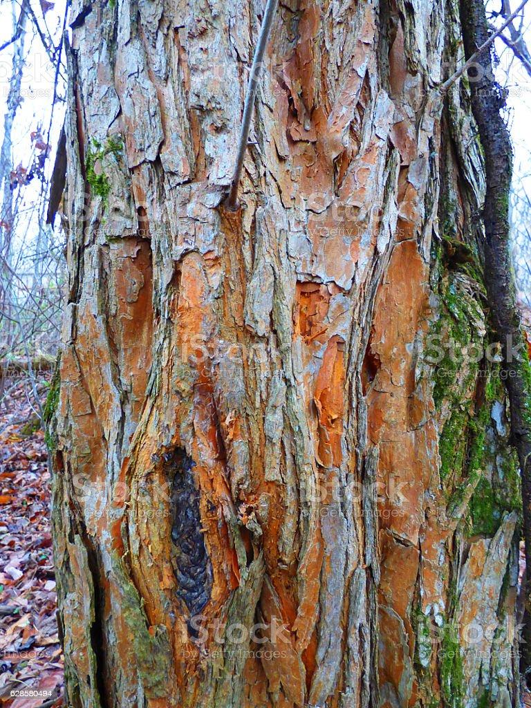 Trunk of an old Osage Orange Tree stock photo