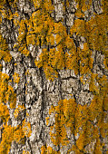 Trunk of juniper with yellow lichen