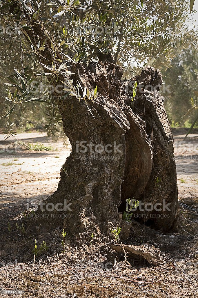 trunk of olive tree with more than hundred years stock photo