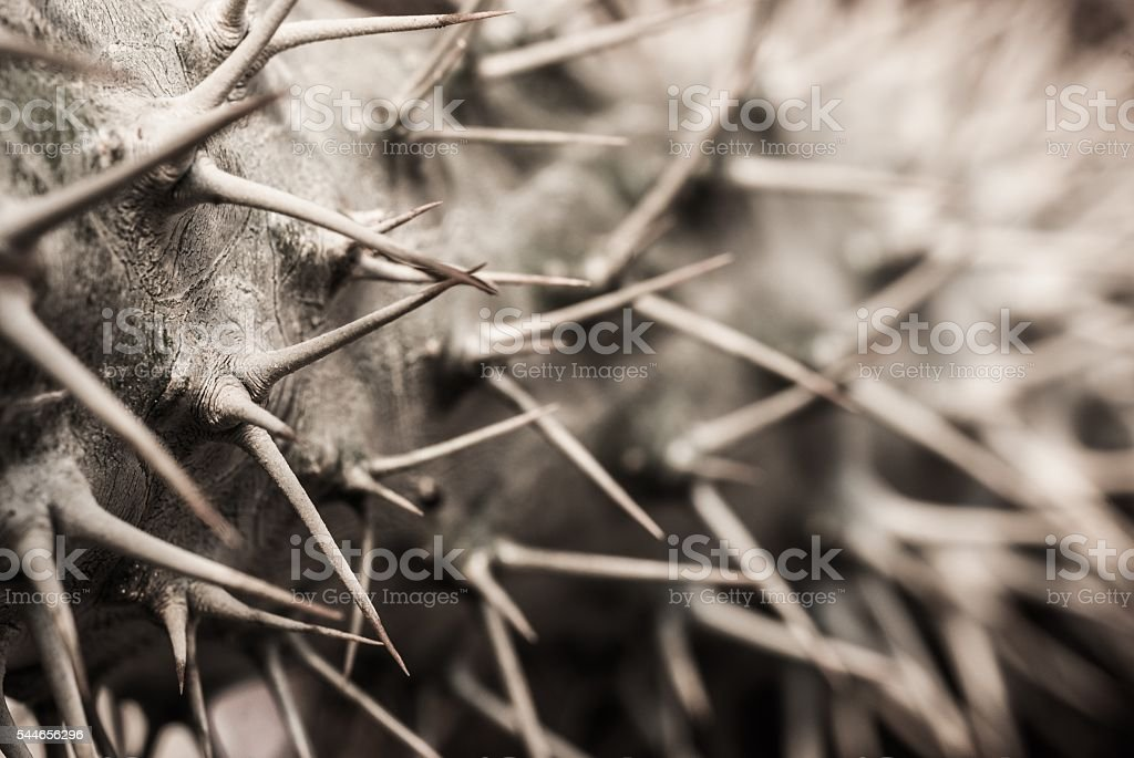trunk of pachypodium with triple thorns stock photo