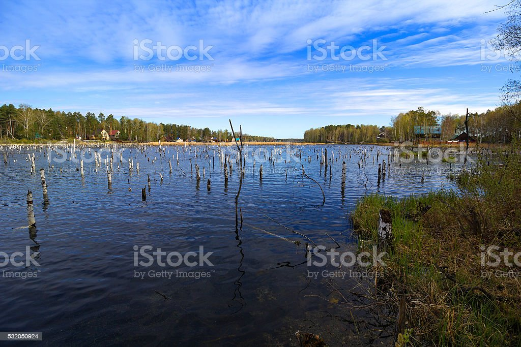 Trunks of birch trees flooded stock photo