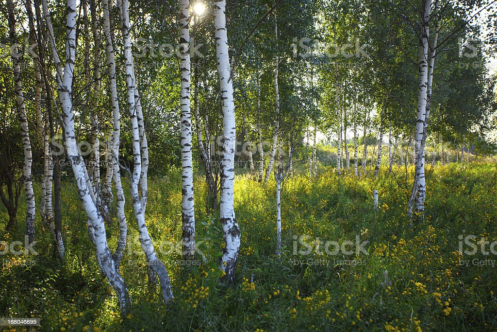 Trunks of birch trees with grass and flowers in summer royalty-free stock photo