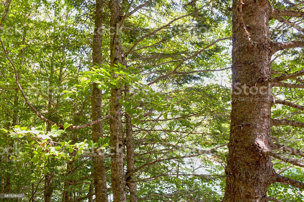 trunks of black poplars in a forest stock photo