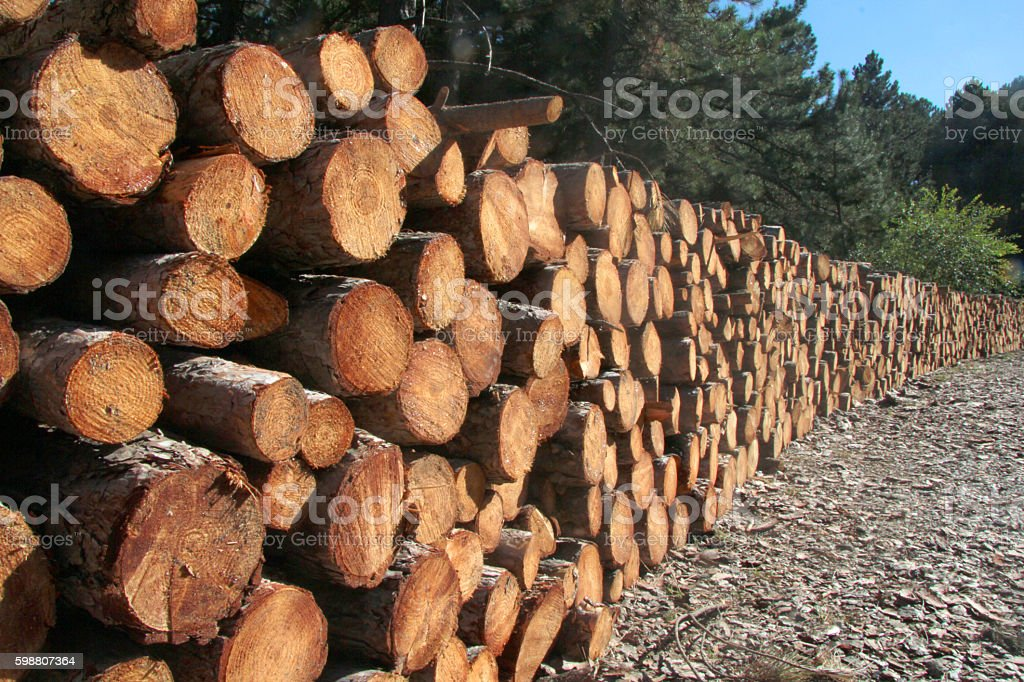 trunks of pine stock photo