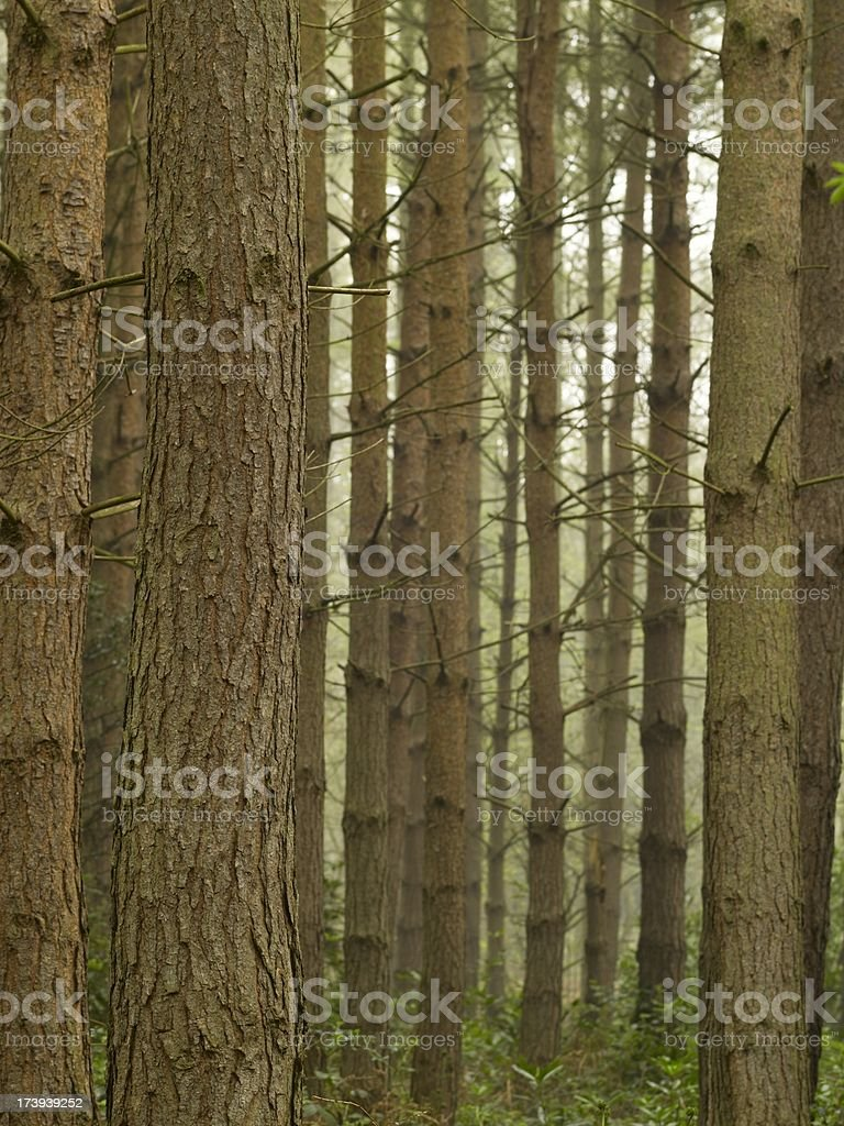 Trunks of pine trees in a wood on misty day royalty-free stock photo