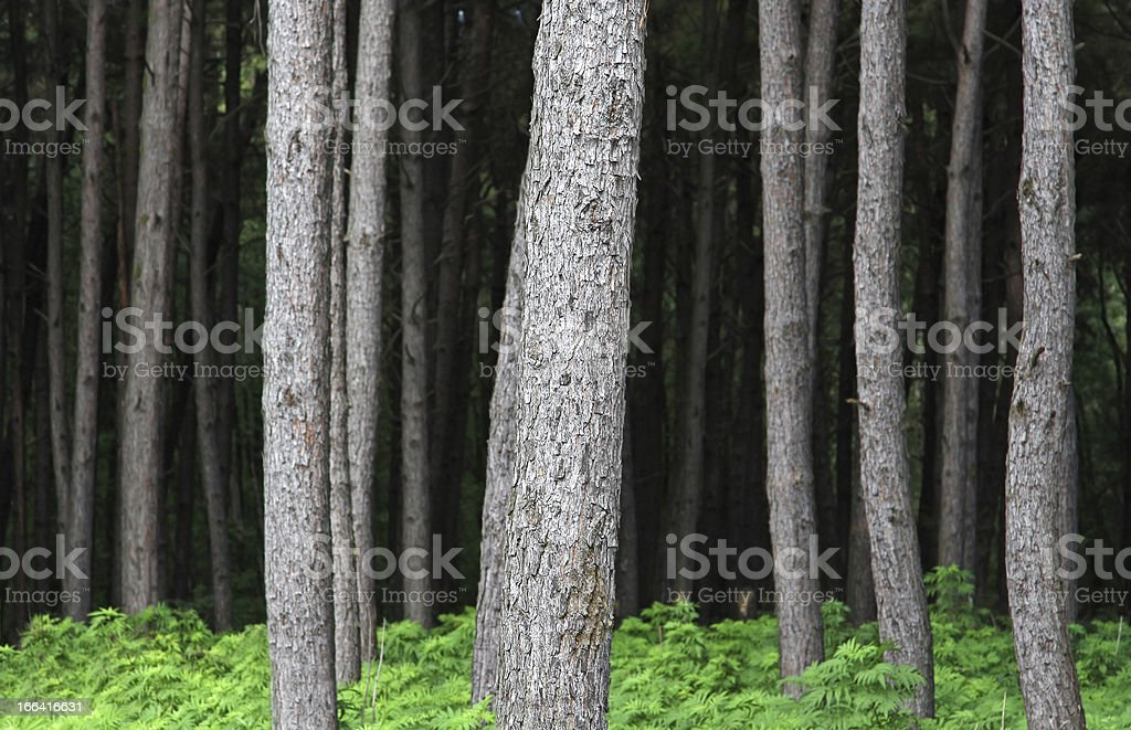 Trunks of pine trees in the jungle royalty-free stock photo