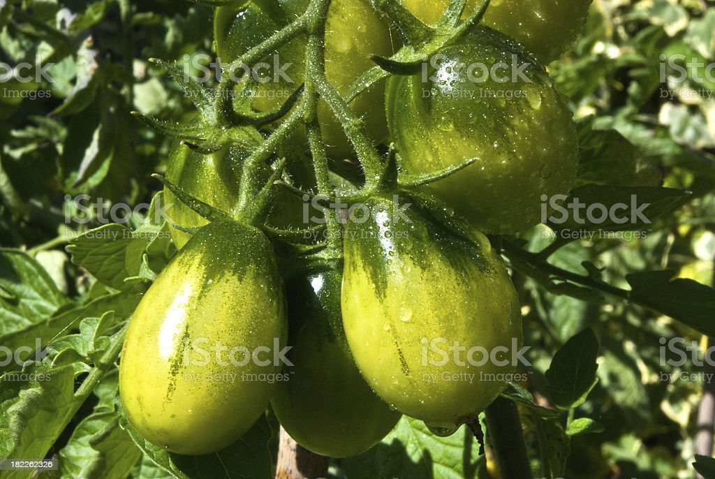 Truss of tomatoes royalty-free stock photo