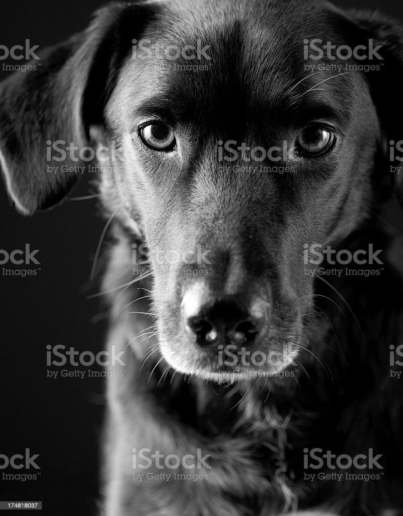 Trusting look of a black puppy stock photo